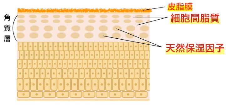 【バリア機能】細胞間脂質と天然保湿因子