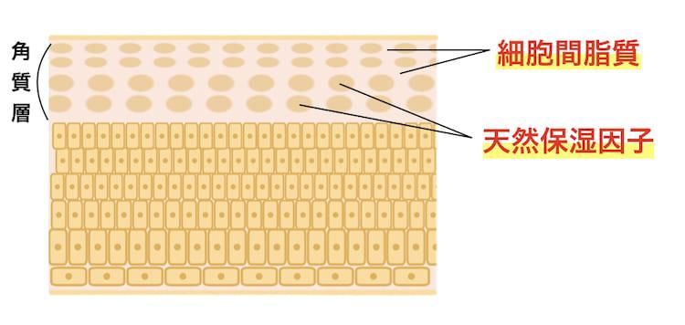 細胞間脂質と天然保湿因子